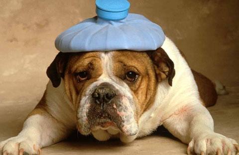 Cachorro com gelo na cabeça