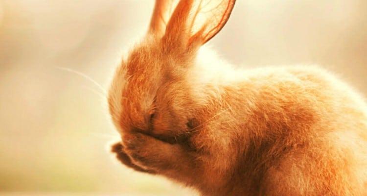 coelho timido