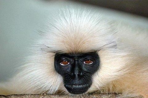 Macaco com cara de ressaca
