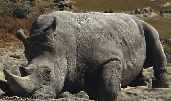 Hipopótamo impotente