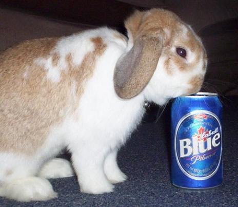 Coelho bebendo cerveja