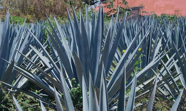 Plantação de Agave azul