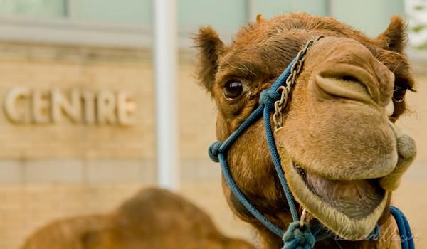 Camelo rindo