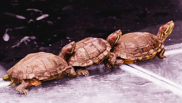 Menage com tartarugas