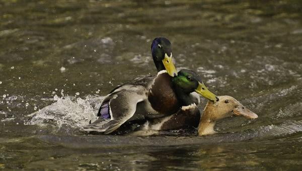 Menage a trois entre patos