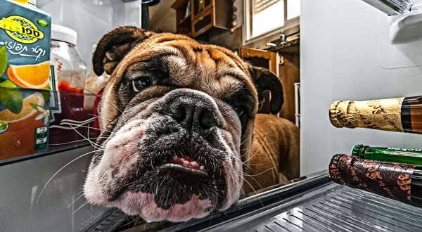 Cachorro abrindo geladeira e olhando cerveja