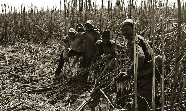 Trabalhadores num canavial