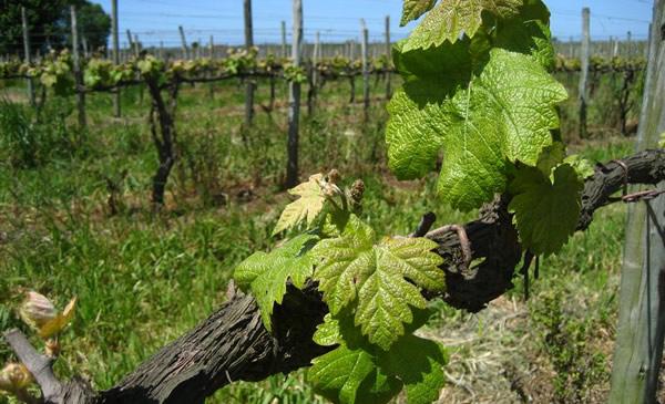 Uvas vinícola