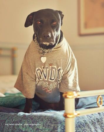 Cão no estilo pimp