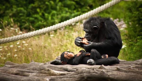 Macacos fazendo massagem