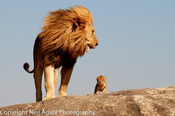 Paisagem com Rei Leão