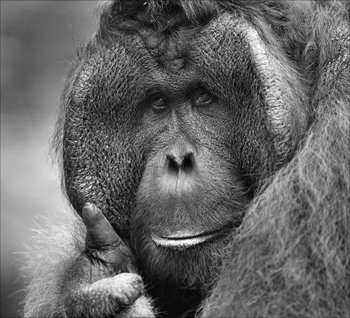 """Orangotango fazendo sinal de """"tudo jóia"""""""