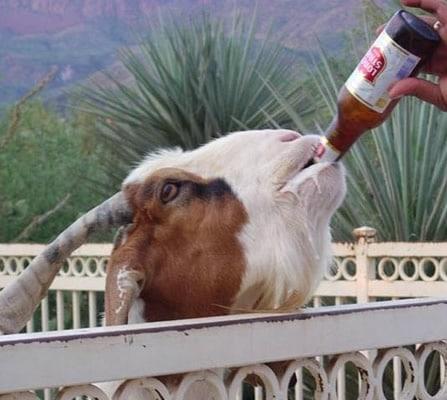 Uma Cabra bebendo cerveja