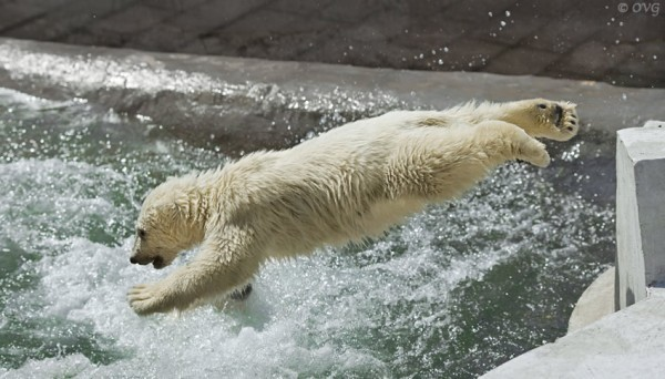 Urso pulando na jacuzzi