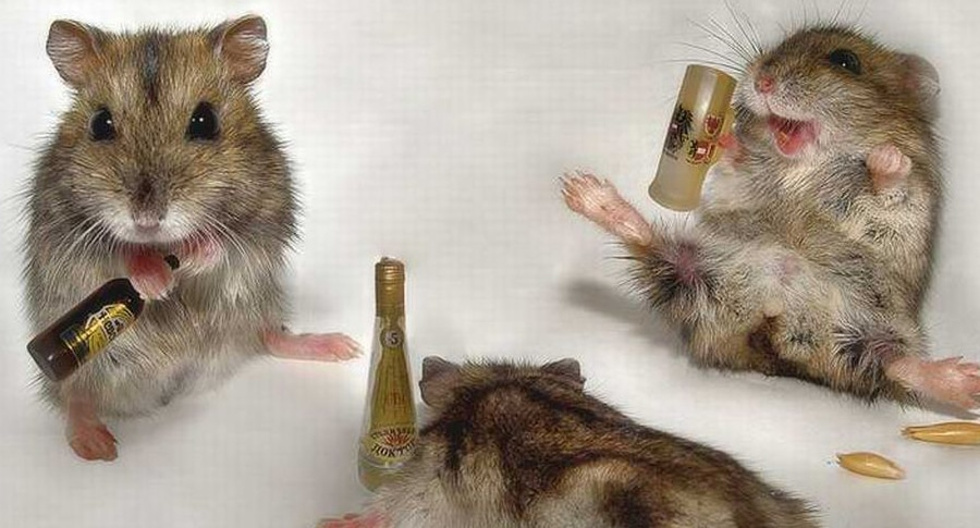 ratos bêbados