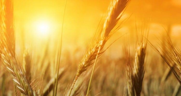campo de cevada no por do sol