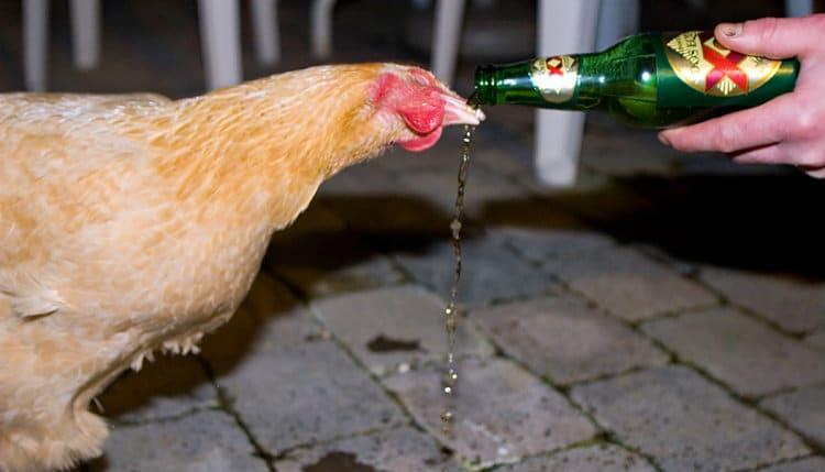 galinha bebendo cerveja