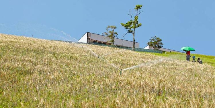 Plantação de cevada na Granja Comary