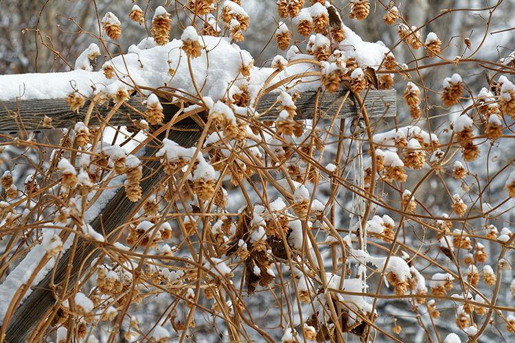 Plantação de lúpulo com neve