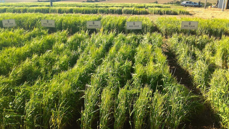 plantação de cevada no dia de campo ambev